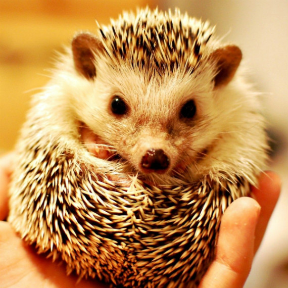 6989959-cute-hedgehog-pictures