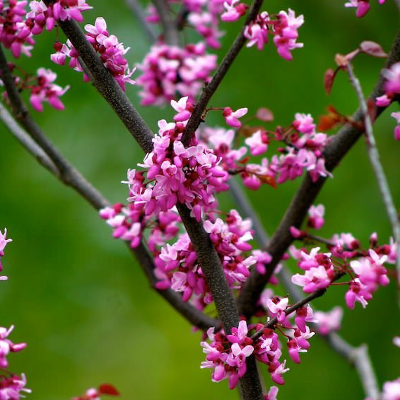 10143-cercis-canadensis-forest-pansy-mainim