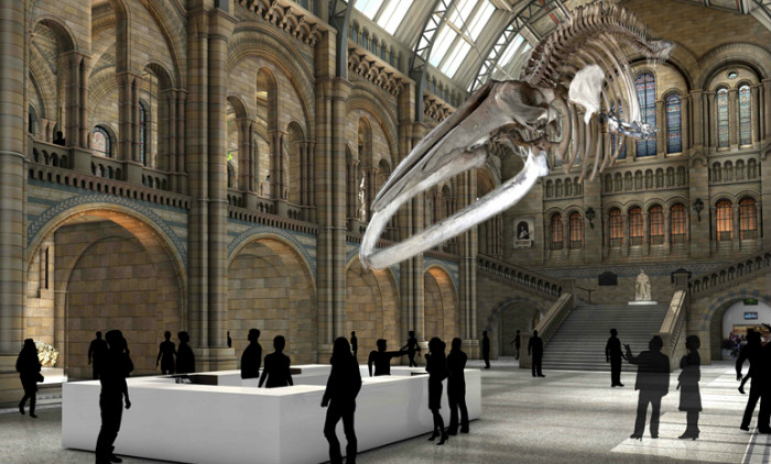 blue-whale-natural history museum